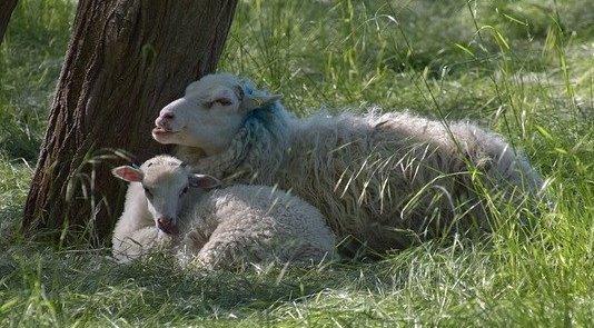 PB ovejas