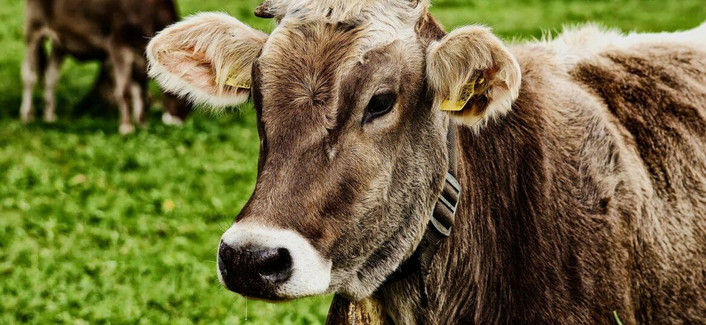 cow-3611501_1920