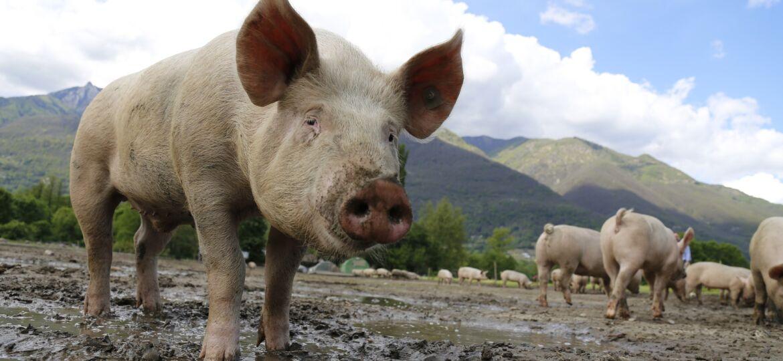 pig-g00c144569_1920